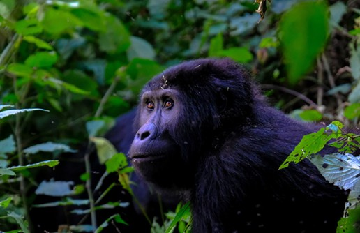 6 Beautiful Places To See Gorillas In Africa