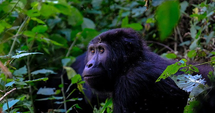 The Best Gorilla Trekking Locations in Africa