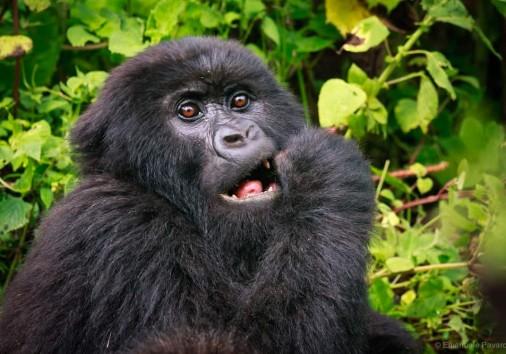 Juvenile Gorilla Eating