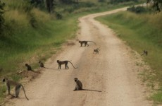 8-Day Primate & Wildlife Safari