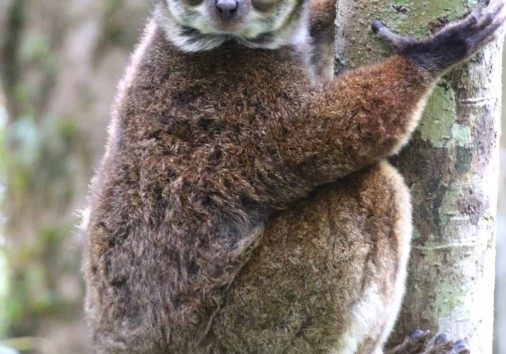 Img 04 (81) Eastern Wooly Lemur (avahi Laniger)