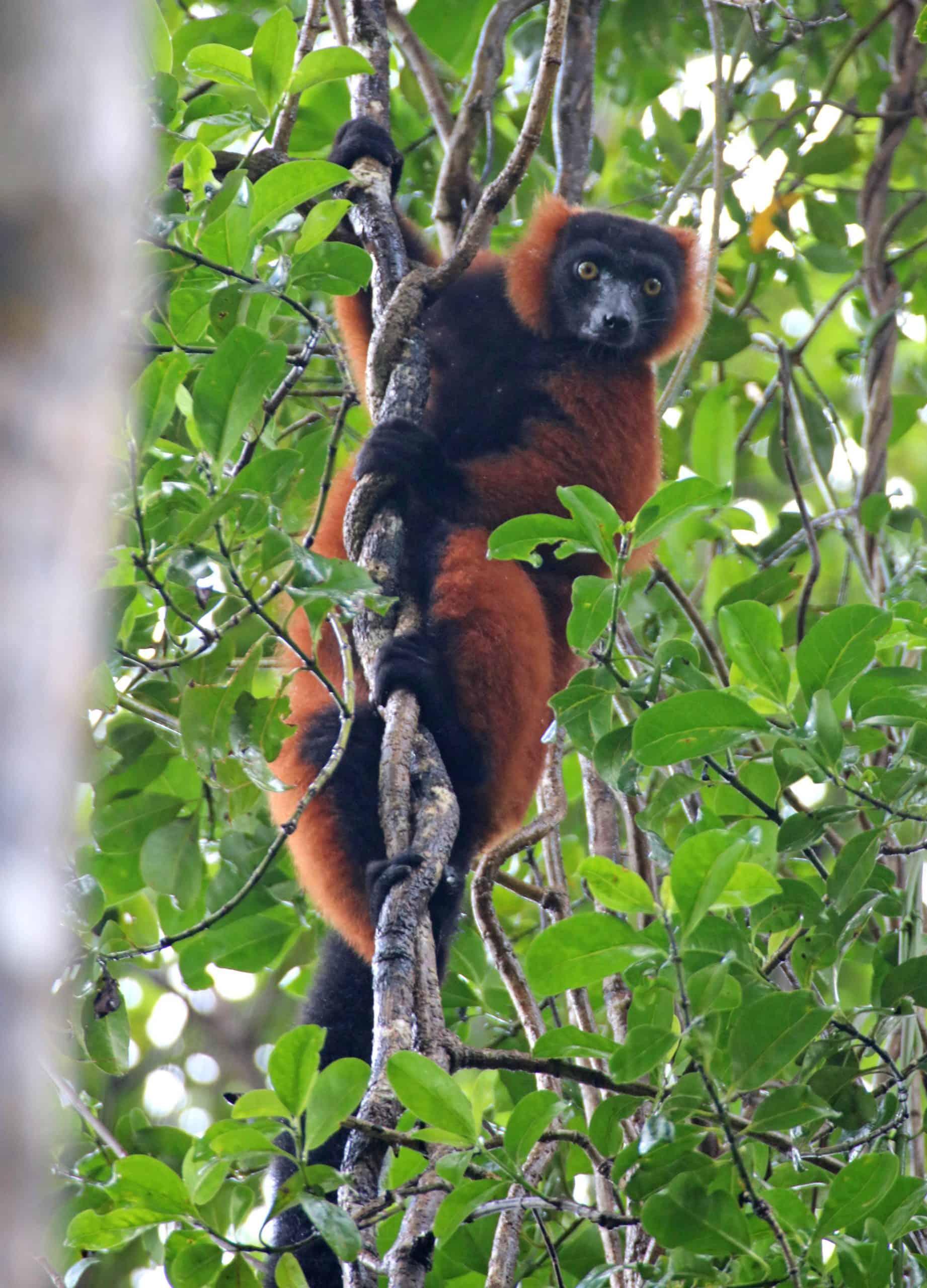 Img 05 (148) Red Ruffed Lemur