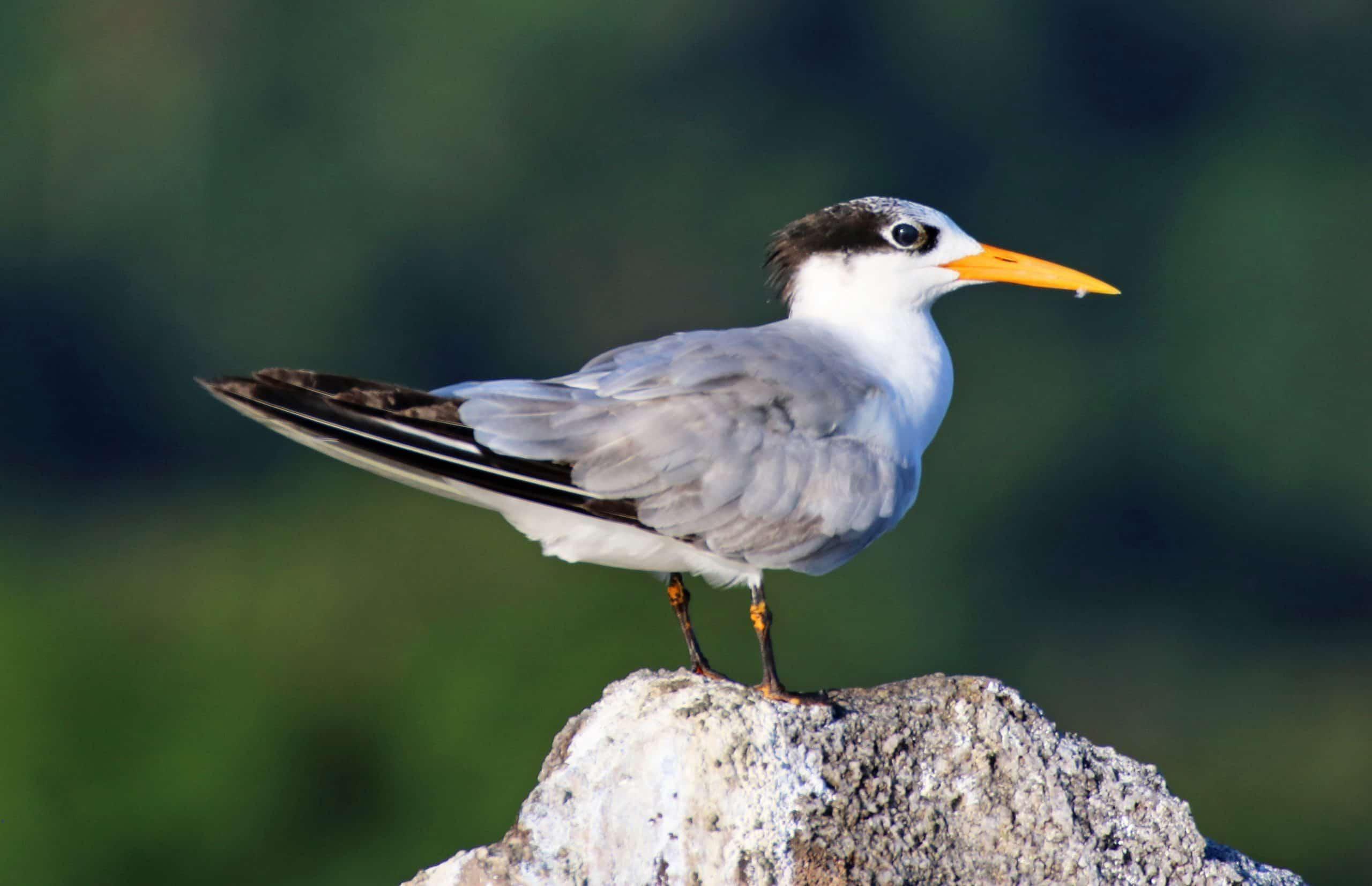 Img 05 (168) Greater Crested Tern (swift Tern) (thalasseus Bergii)