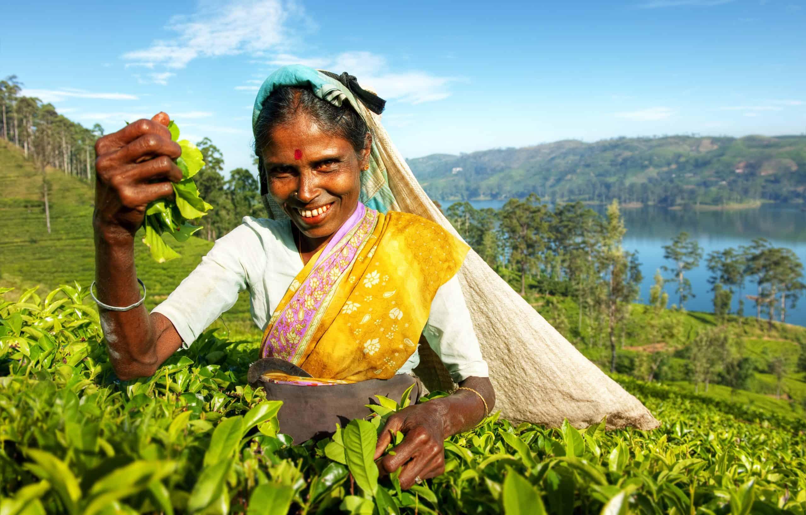 Indigenous Sri Lankan Tea Picker Harvesting Shutterstock 314749064