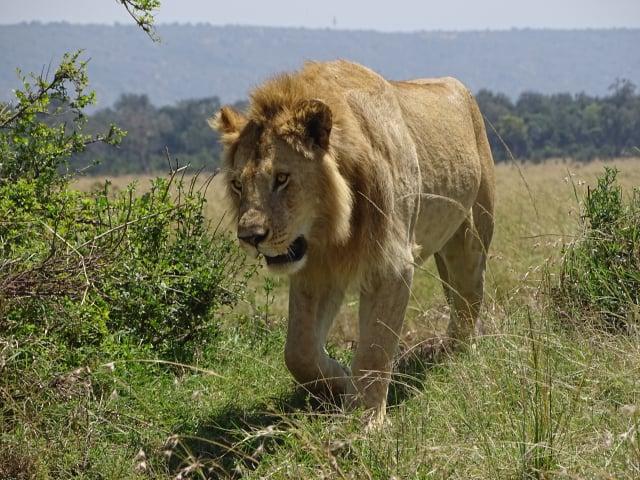 Lionatmaasaimara Id7591