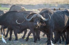 11-Day Buffalo Safari