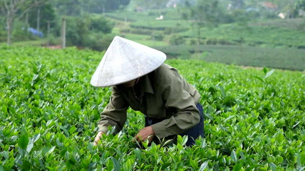 Tan Cuong Tea Plantation