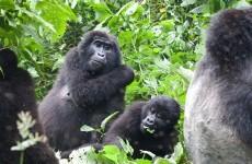 2 Days Gorilla Trekking Safari Uganda from Kigali