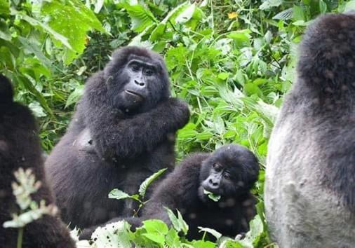 Gorilla Family In Uganda