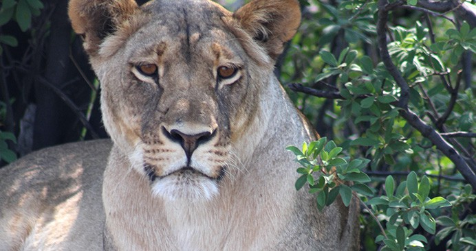 safari-deal-lion-hwange