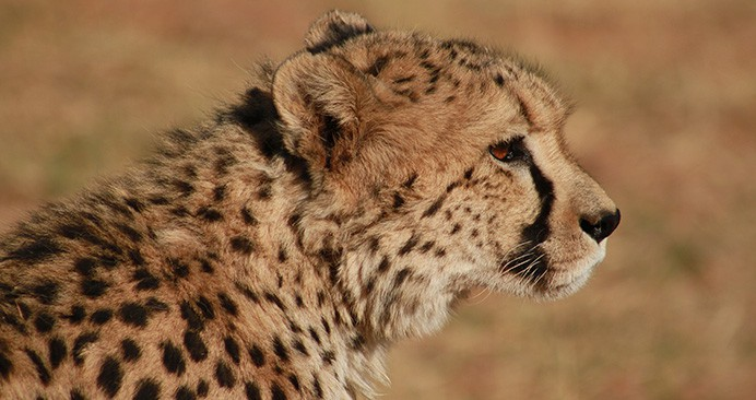 safari-deal-cheetah-iran