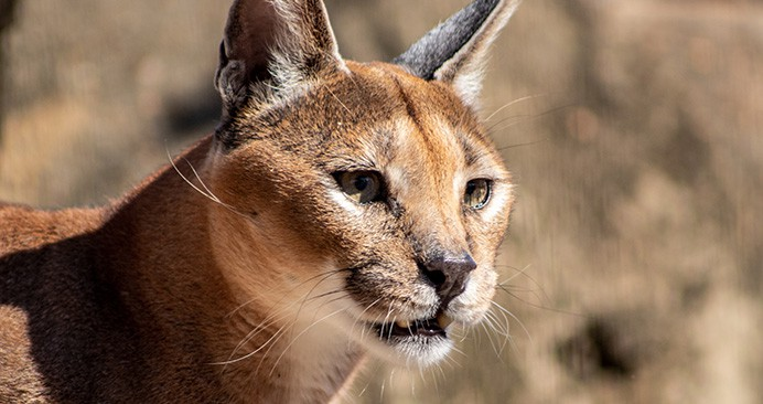 safari-deal-caracal-kruger