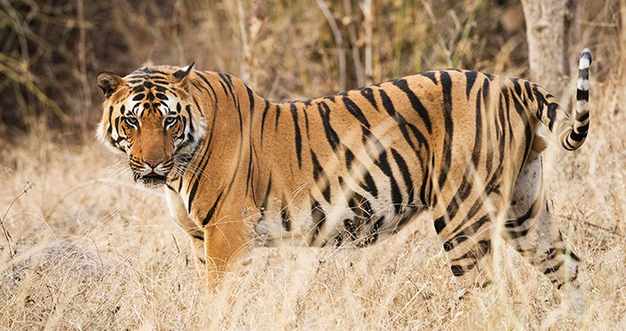 safari-deal-tiger-chitwan