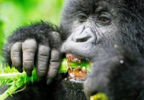Safarideal Gorilla Thumbnail