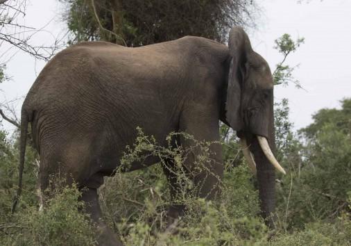 Bush Elephant 2