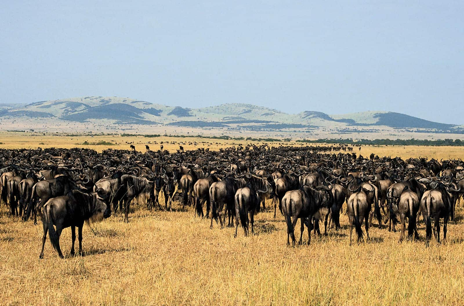 Herd Gnu Tanzania Serengeti National Park