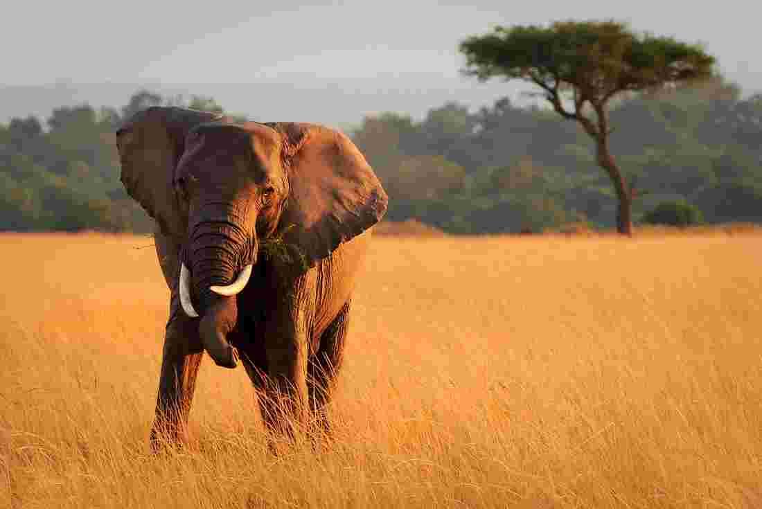 Intrepid Travel Kenya Masai Mara Elephant