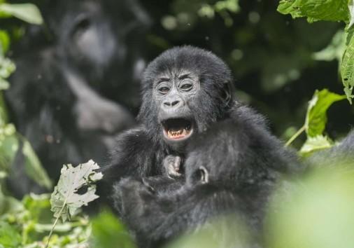 K1024 Baby Gorilla