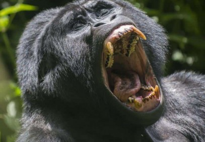 8-Day Search for Chimpanzees, Gorillas and Tree-Climbing Lions