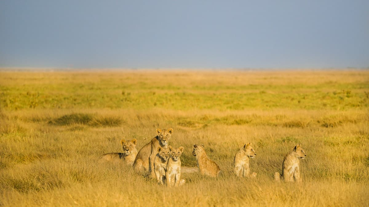 Lion Pride At Amboseli National Park Kenya Safari Itinerary 18 (1)