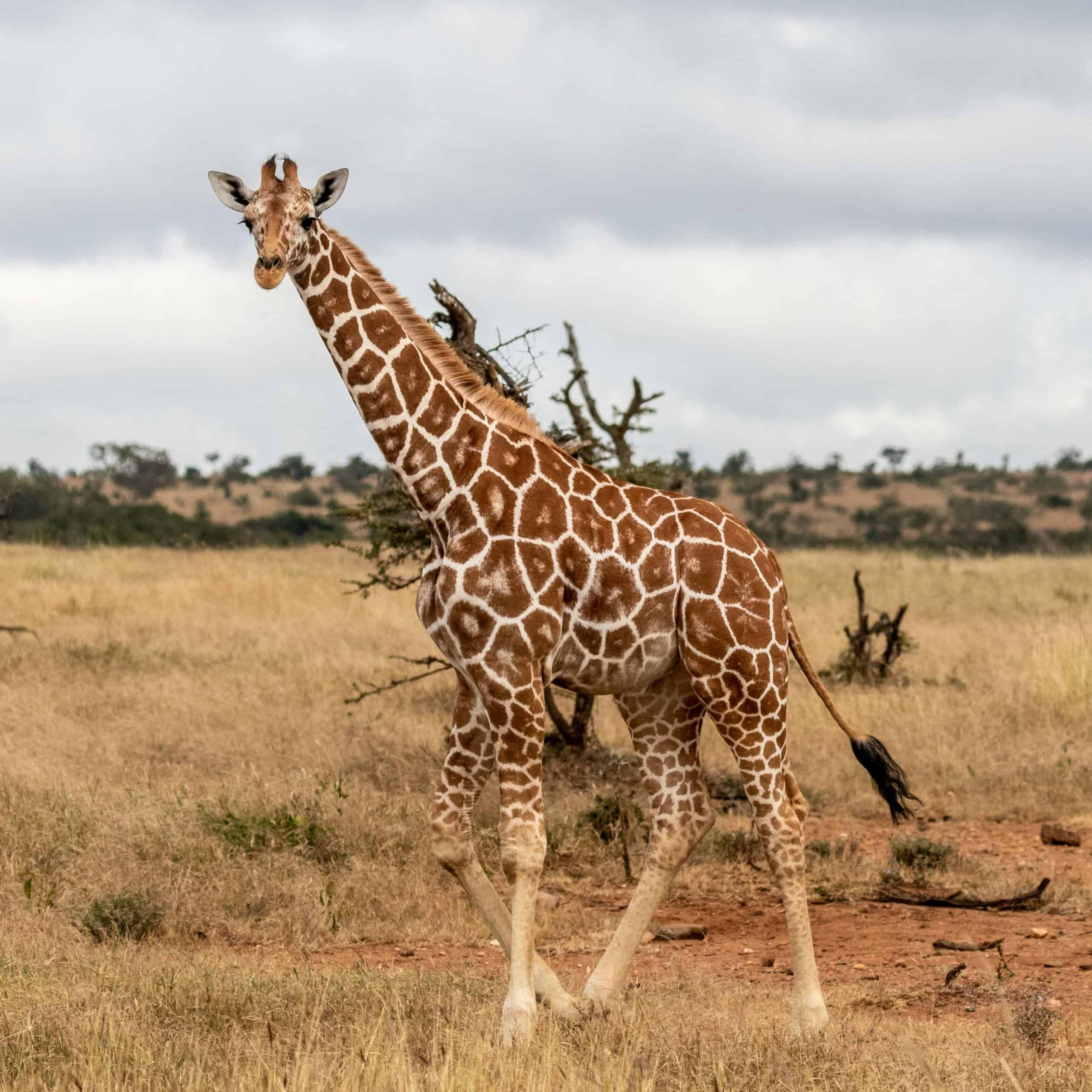 Reticulated Giraffe Jan 2020