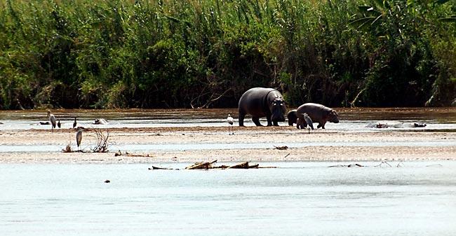 Rusizi Np Hippopotamus