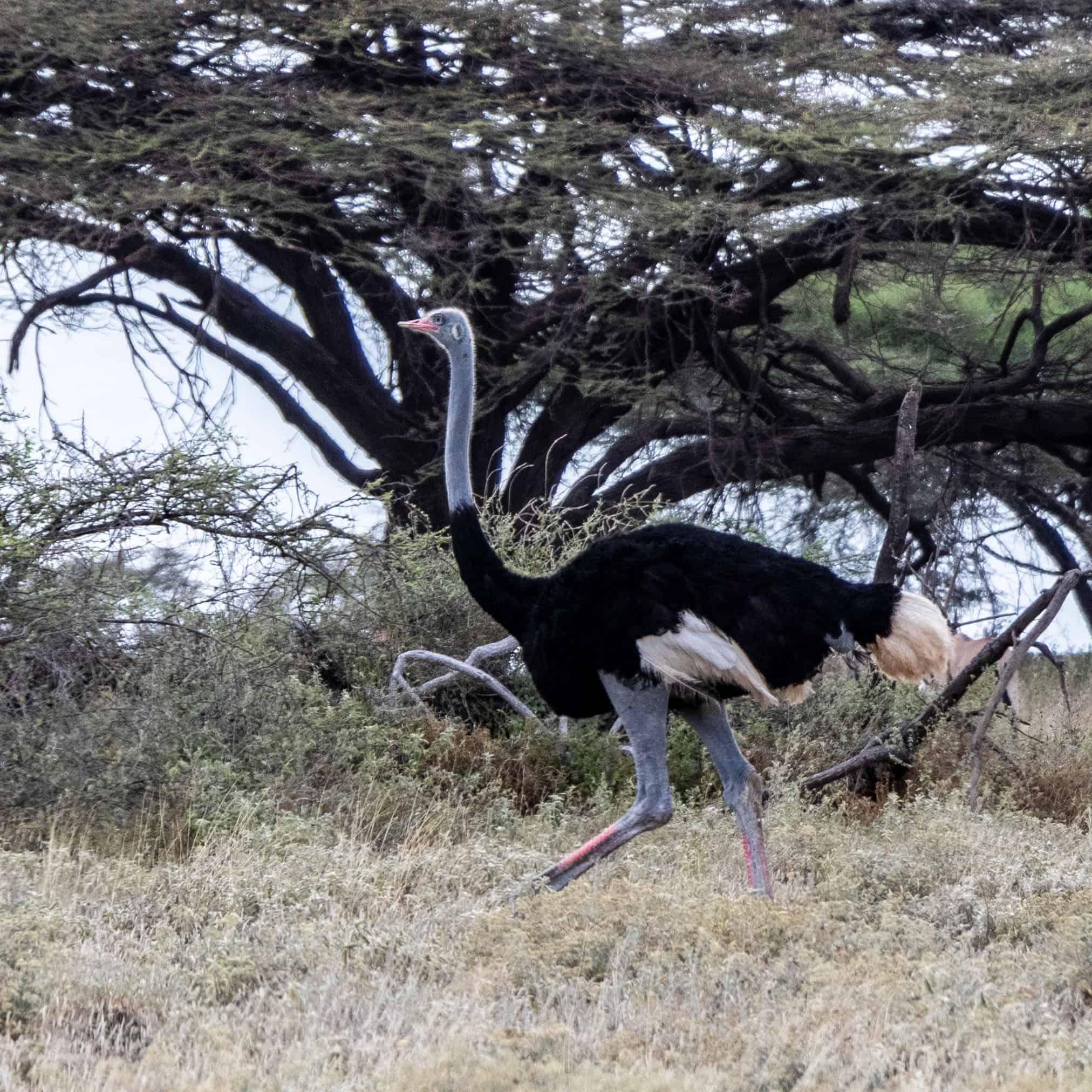 Somali Ostrich Male Feb 2020