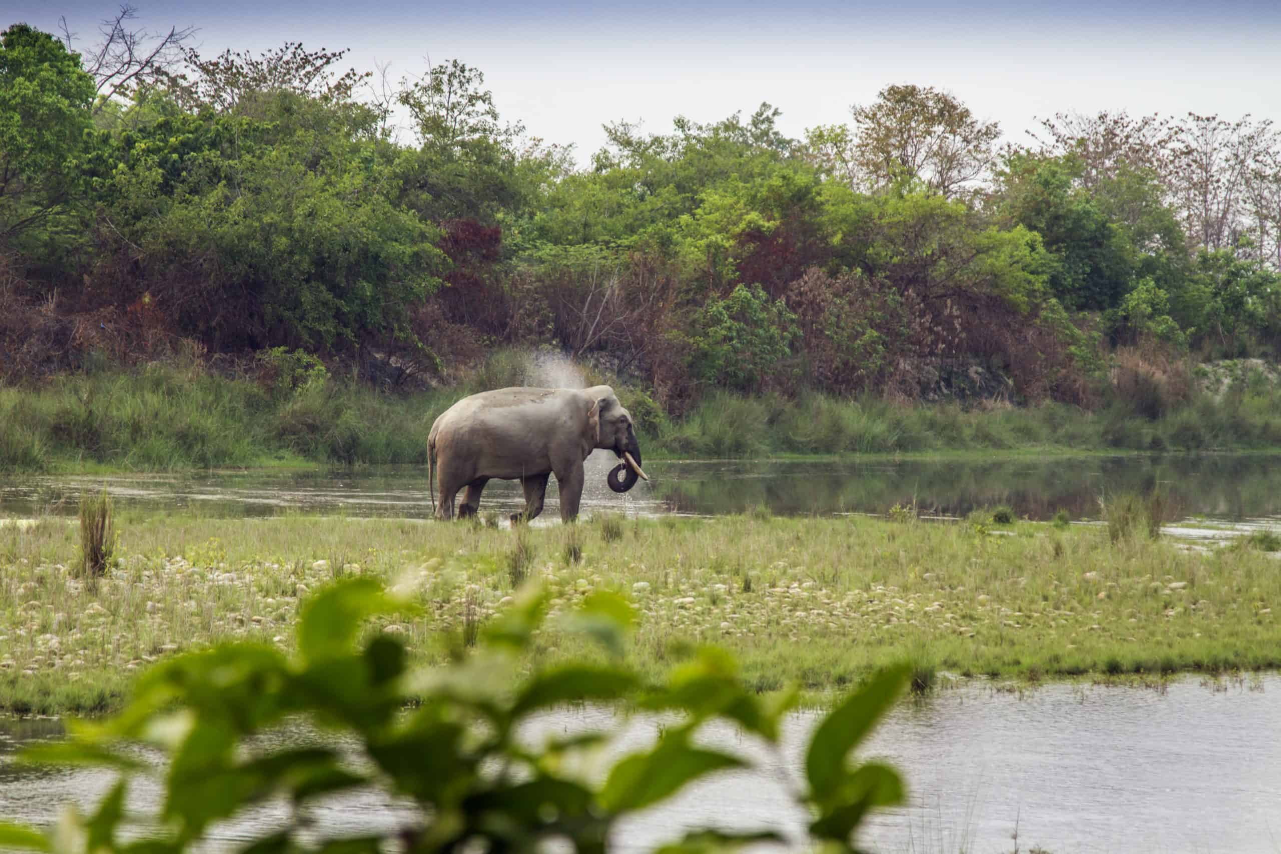 Asian Elephant Drinking In The Riverbank, Nepal