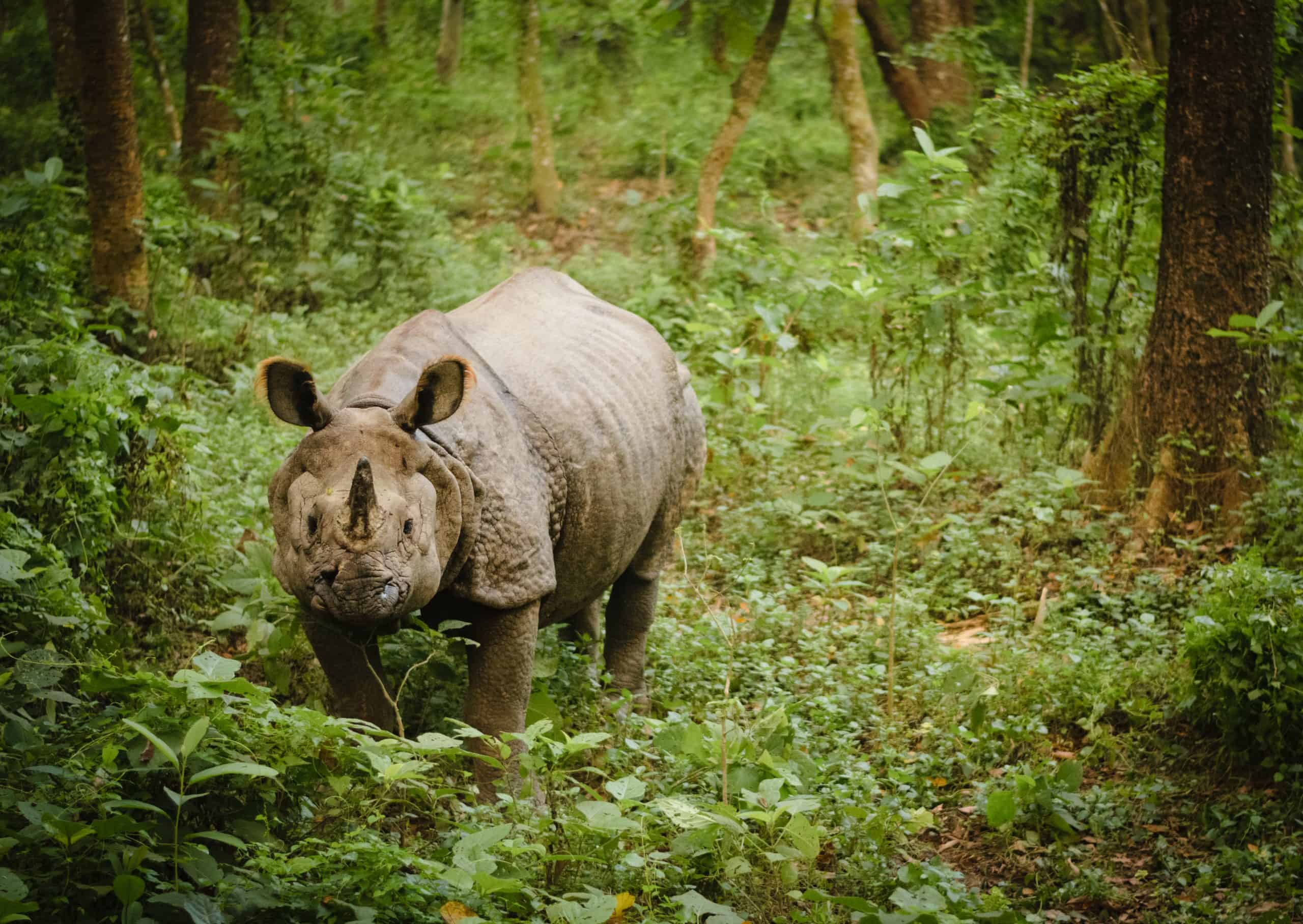 Isolated Indian One Horned Rhinoceros In Chitwan National Park Nepal.