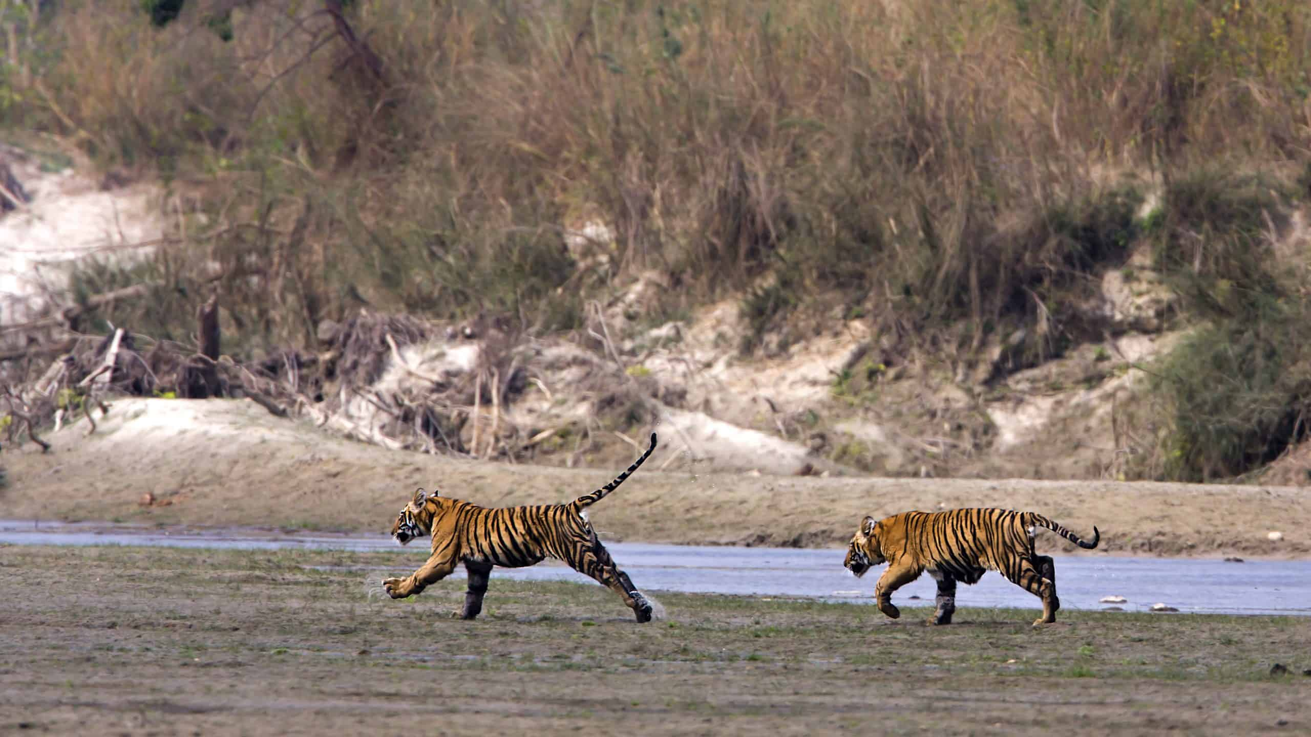 Young Tigers Running In The Riverbank, Bardia National Park