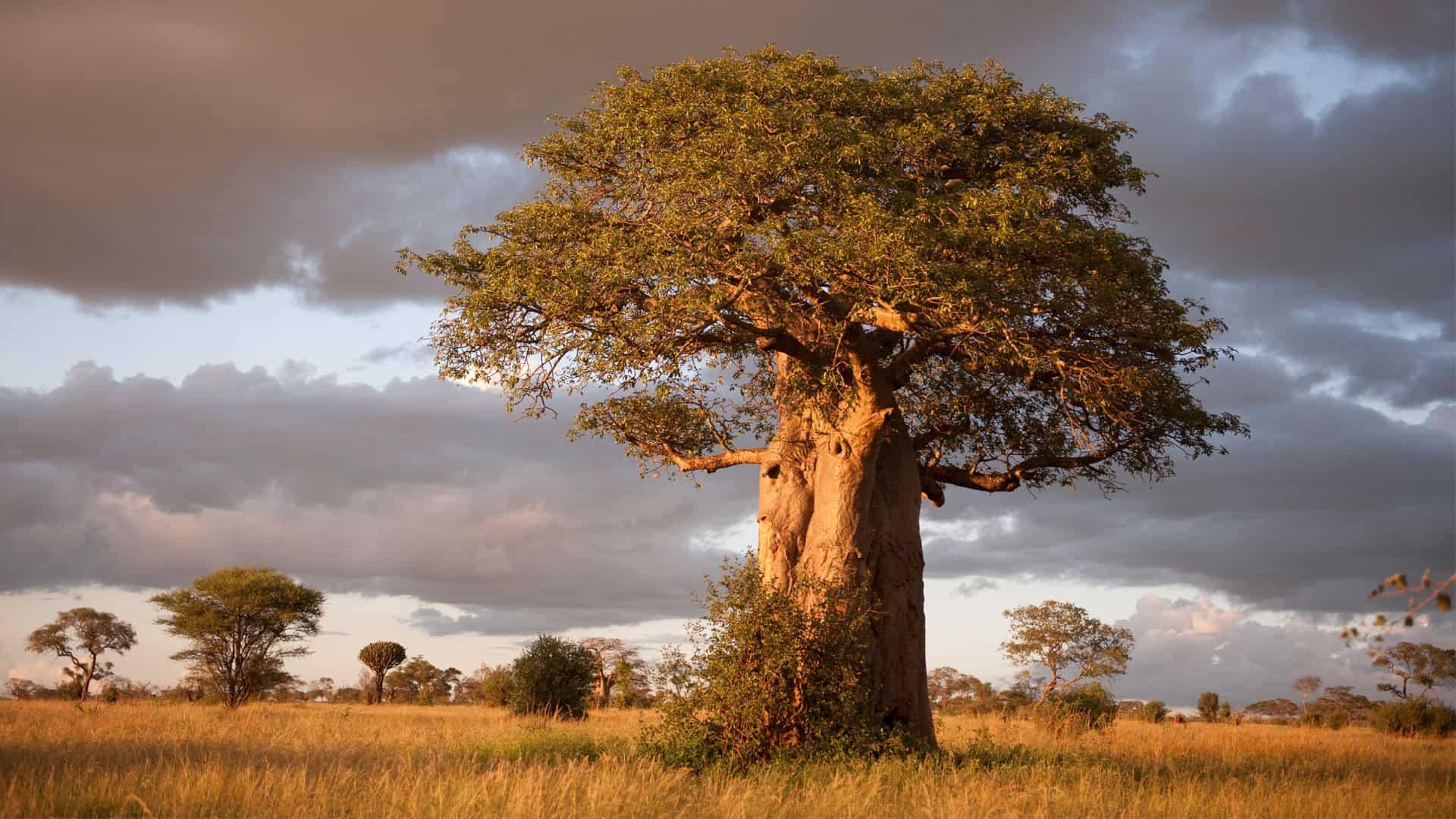 Boabab Tarangire National Park