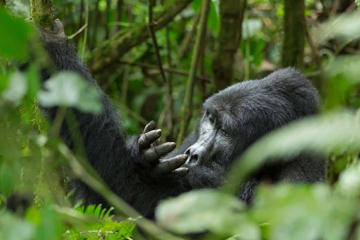 Bwindi Forest Gorilla Smelling Hands
