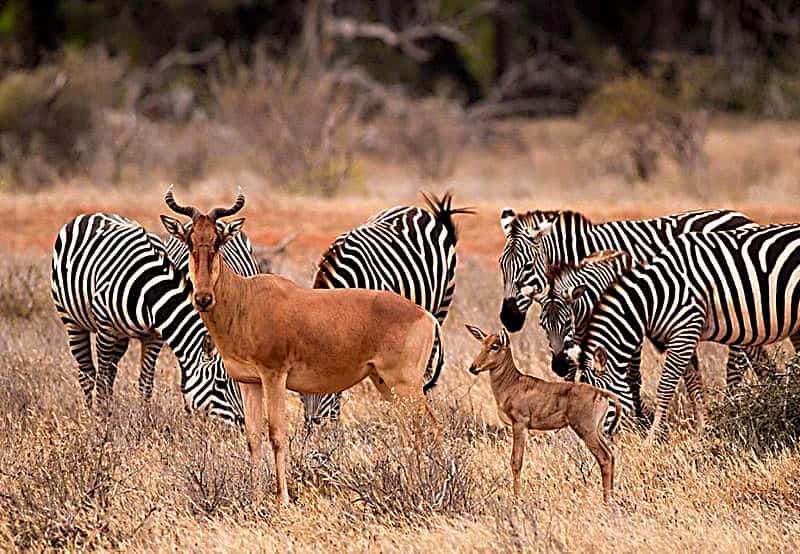 Csm Safaris Kenia Mit Tauchen Tsavo East West Amboseli 5 02daef0b7f