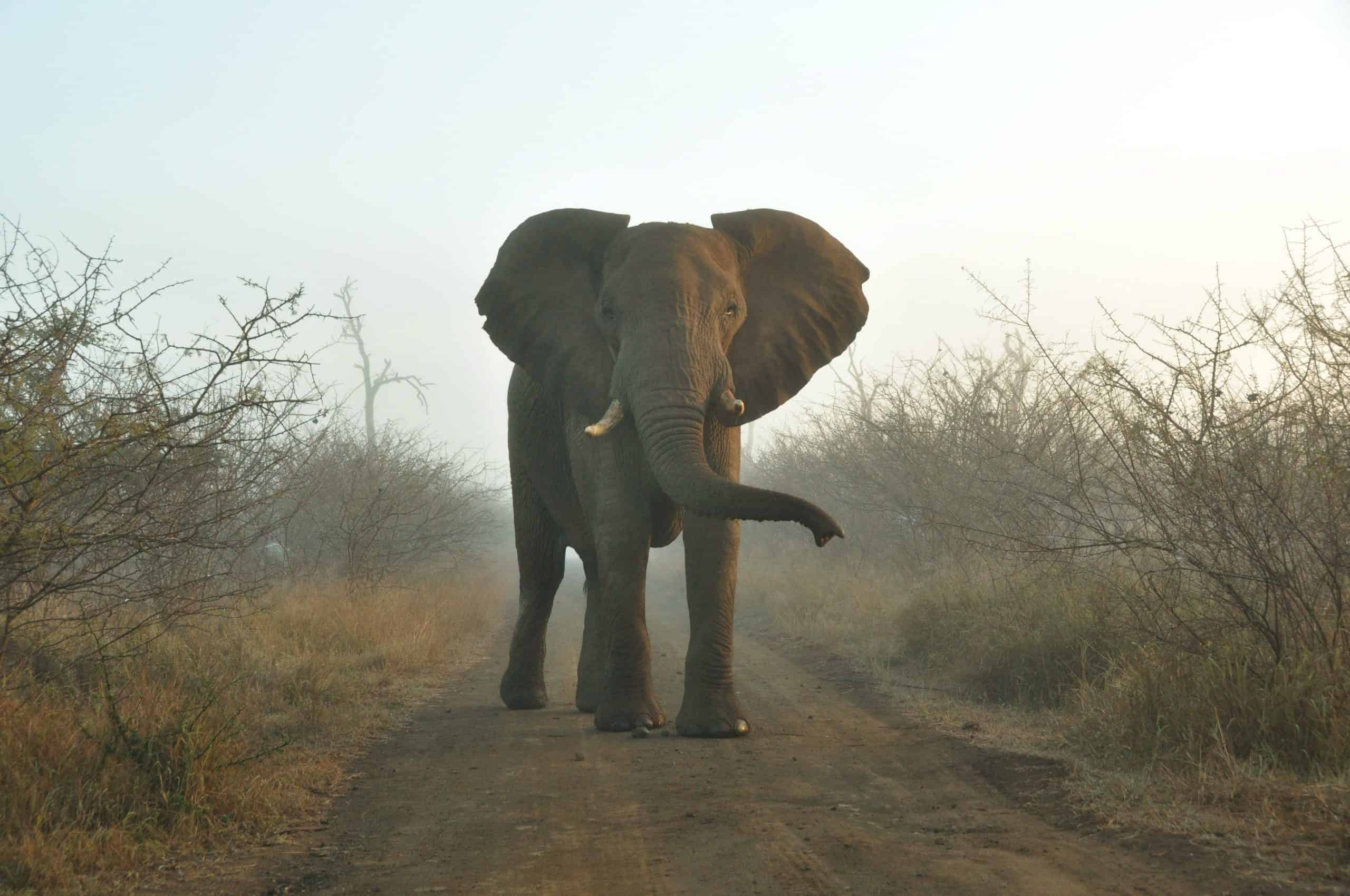 Elephant In Hlane