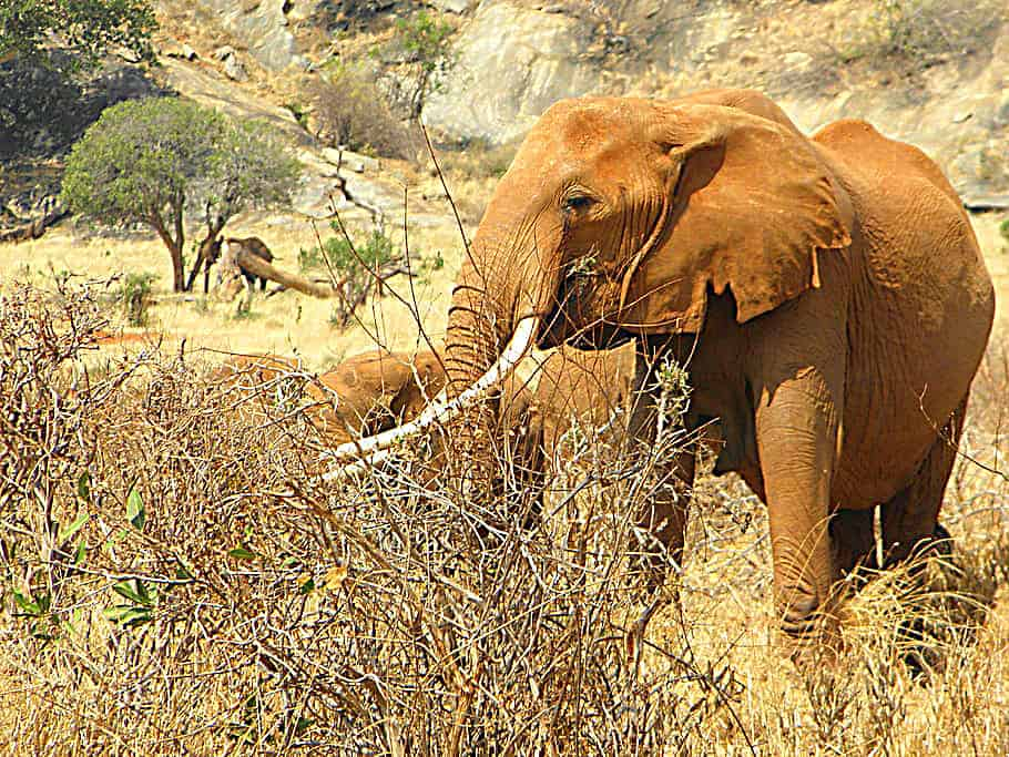 Elephant Kenya Africa Wild