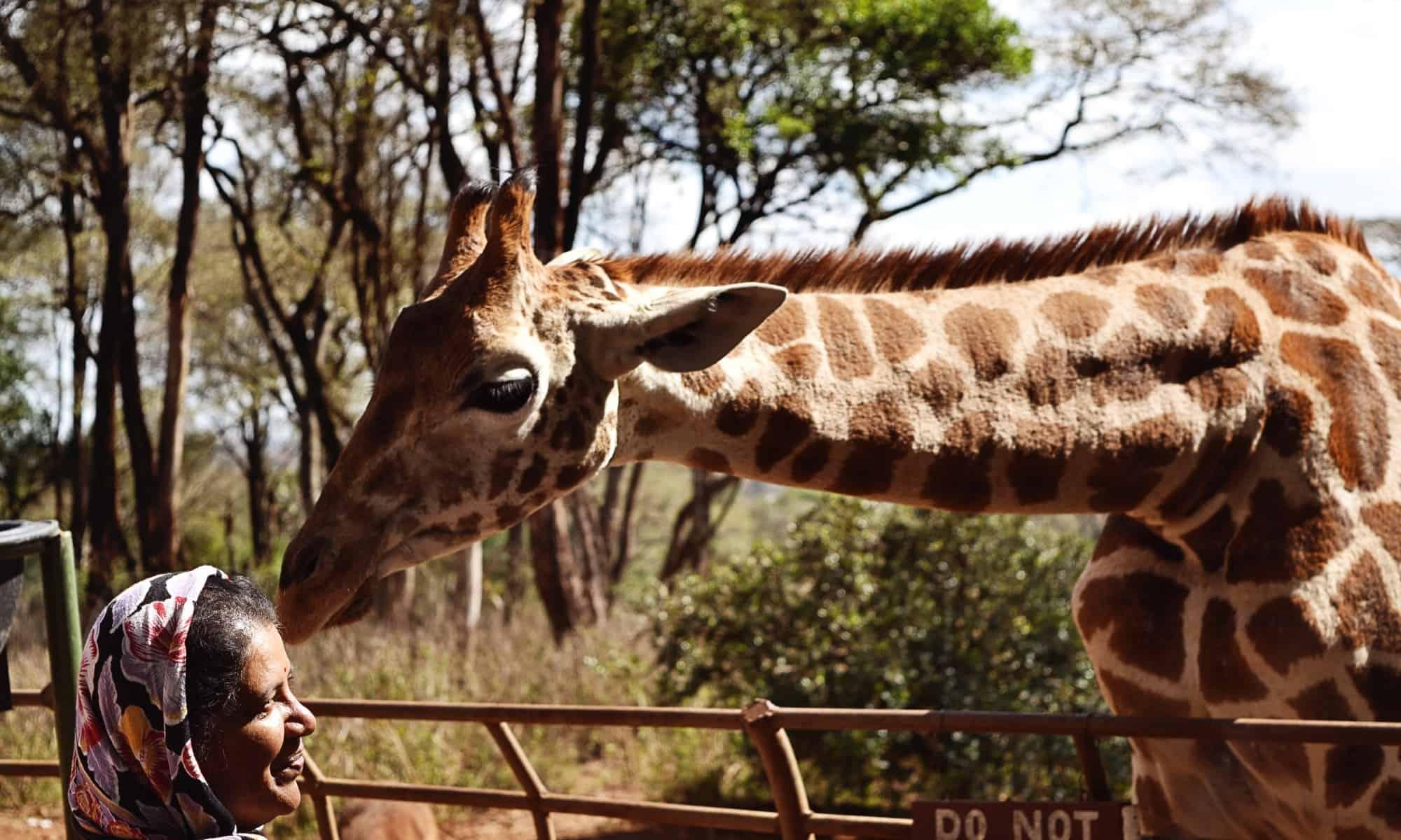 Giraffe Centre 1