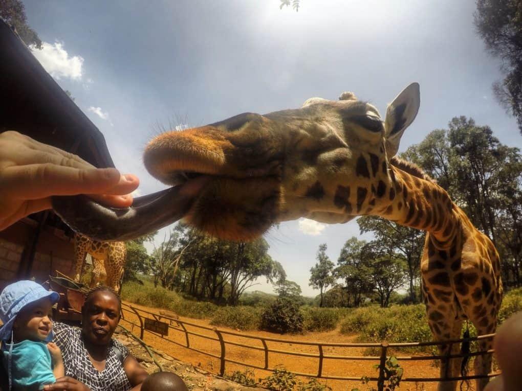 Giraffe Centre 2