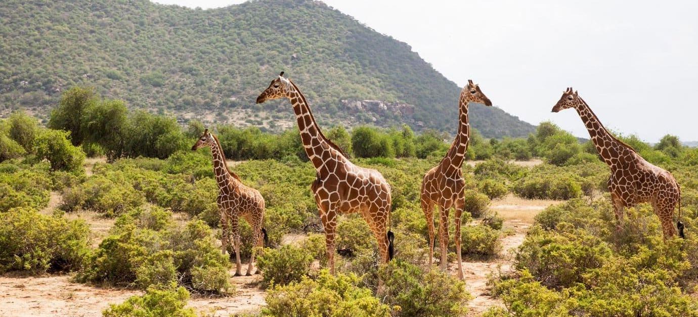 Kenya Safaris In Samburu National Reserve Girrafe Robert Safaris Adventure