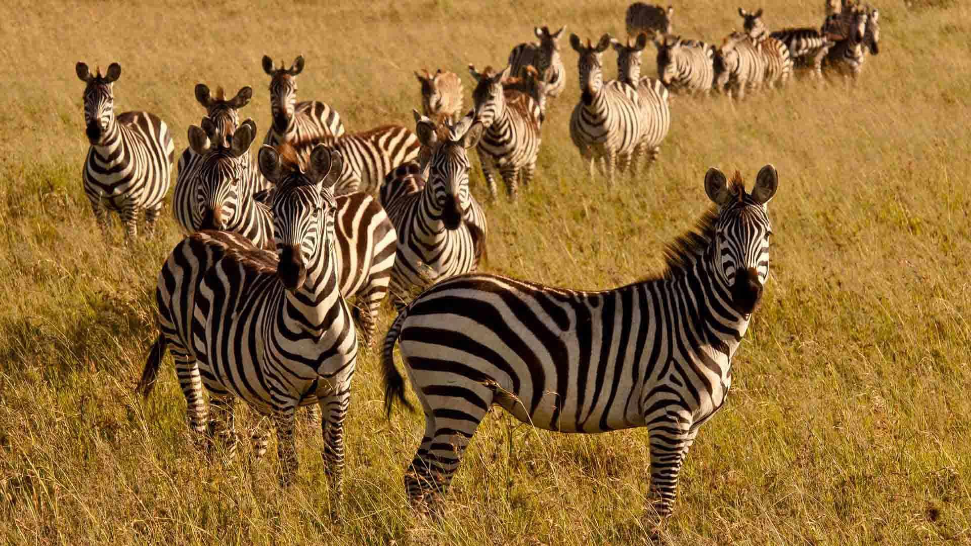 Kenya Wildlife Zebra Copyright Will Bolsover