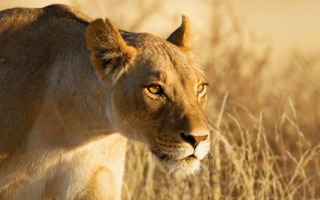 Lioness Safari Africa Nature Grass Hunting 1920x1080 Hd Wallpaper 389237 1 1080x675