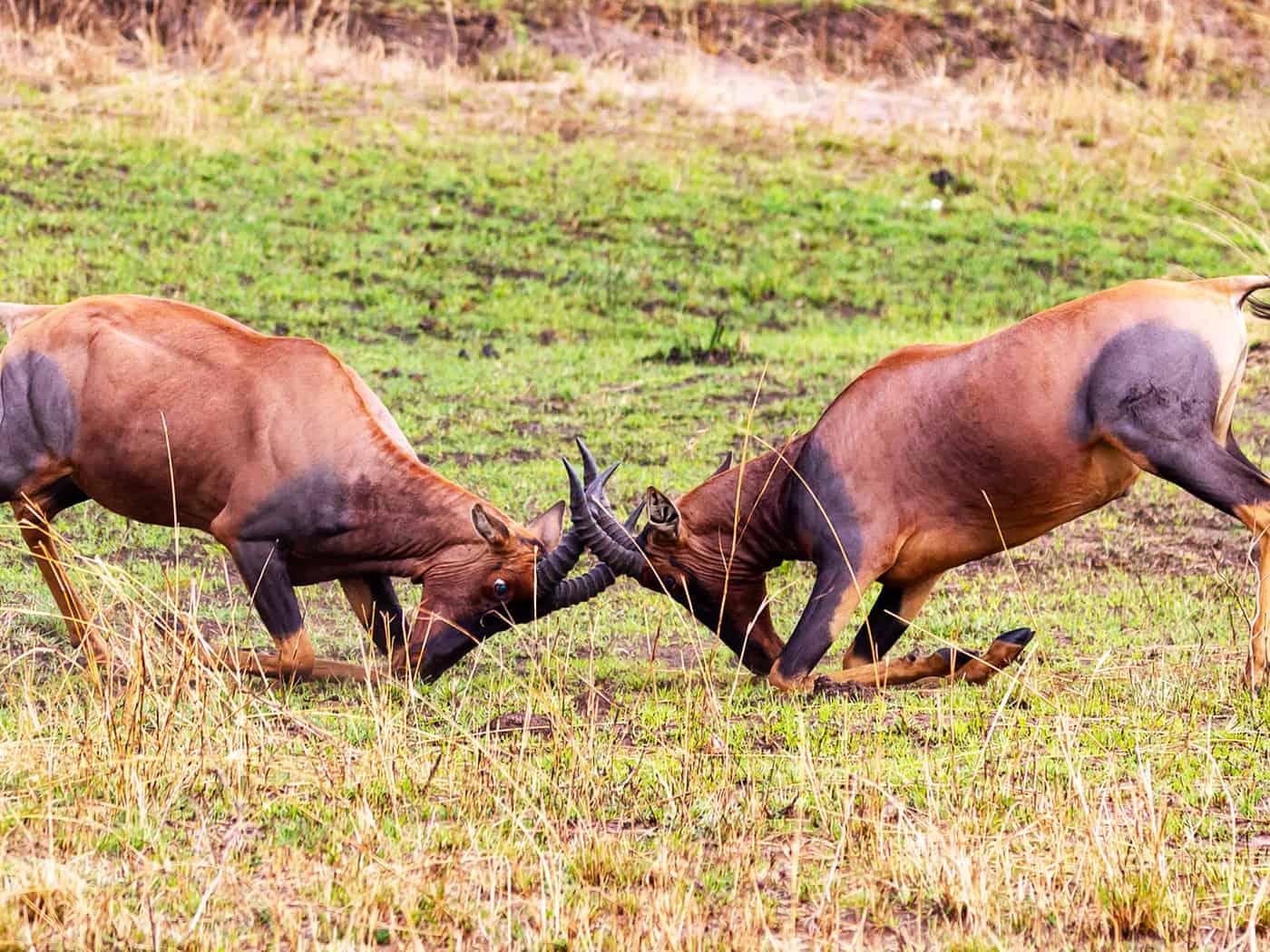 Male Topis Fight At Serengeti National Park Tomodachi Tours Safaris Tanzania Africa