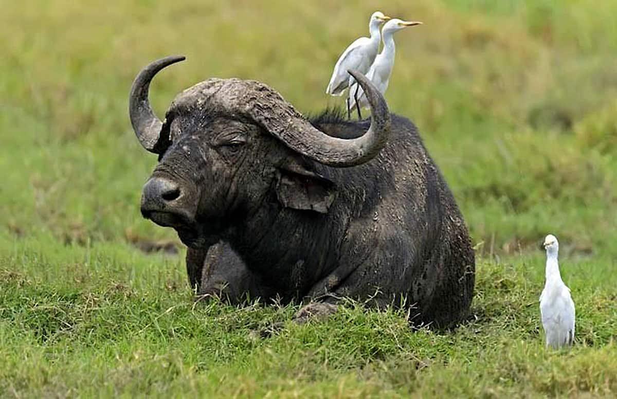 Nakuru Buffalo Small 2 1 1 B