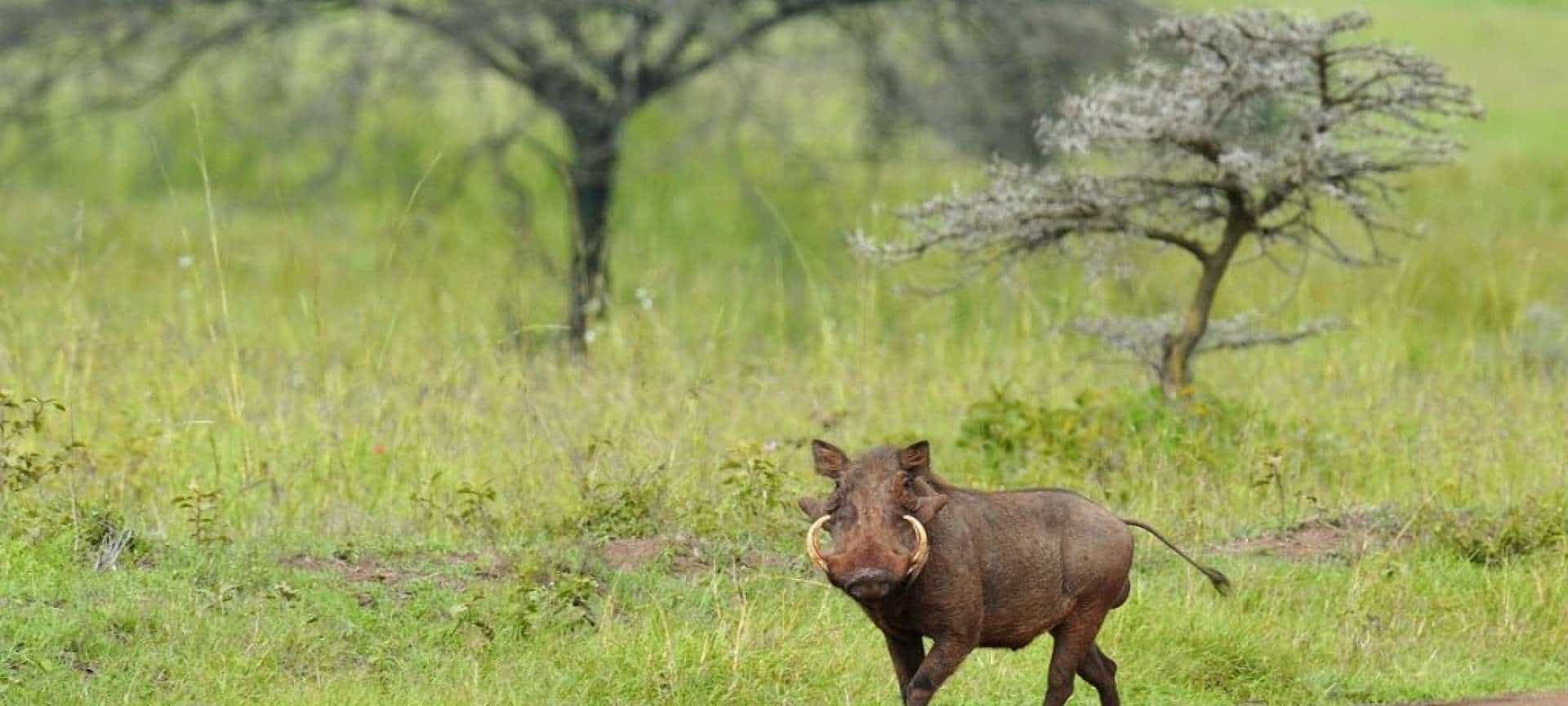 Warthog Nairobi National Park. Photo Kenya Tourist Board. Magical Kenya. Web 1024x680 1920x864