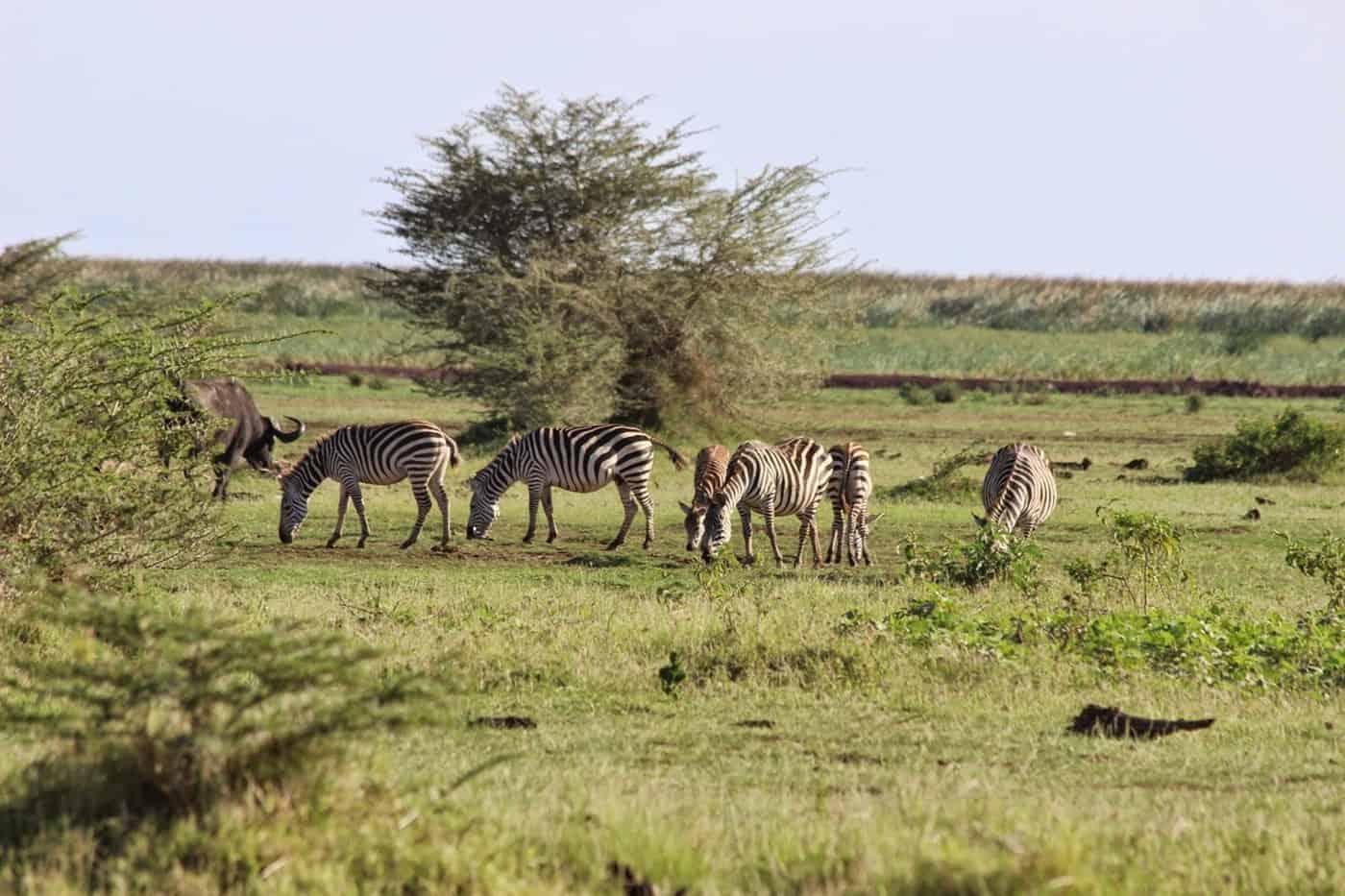 Zebras Lake Manyara National Park