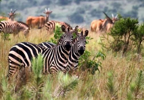 Zebras Akagera Park 18 1