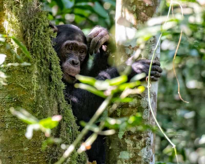 3 Days Rwanda Chimpanzee Trekking Safari Chimpanzees In Nyungwe Forest National Park Rwanda