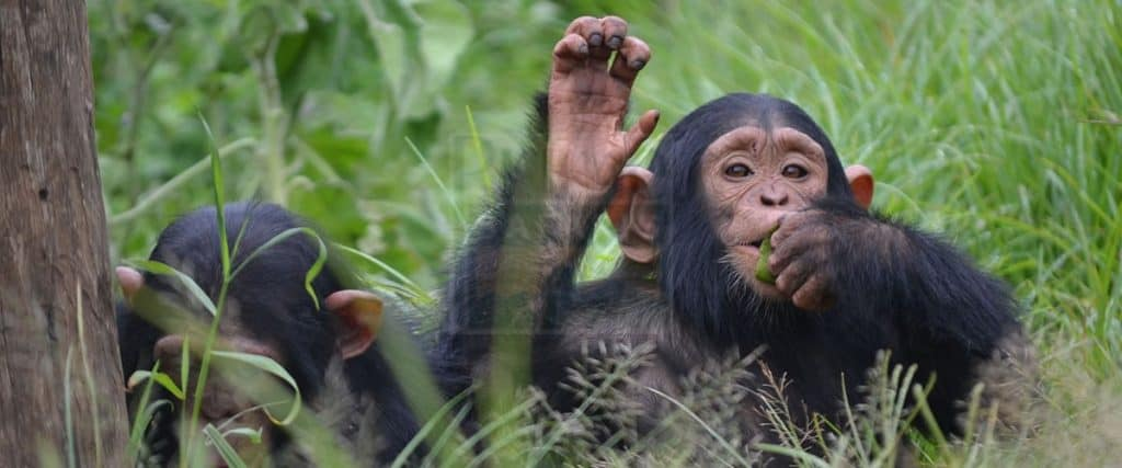 Chimpanzee In Kibale Forest National Park 1024x427