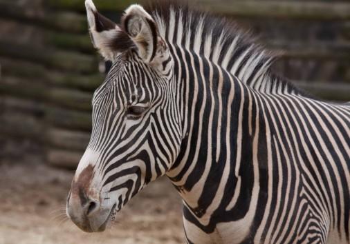 Greveys Zebra