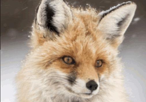 Himilayan Fox