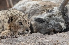 Land of Snow Leopard & Brown Bears